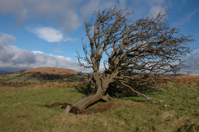 Fallen hawthorn tree on Bryn Arw