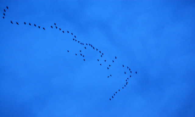 Flight of Geese