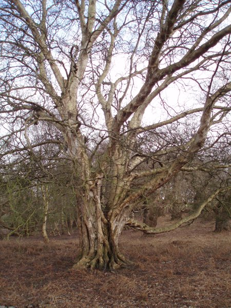 Historic birch tree in Staverton Park