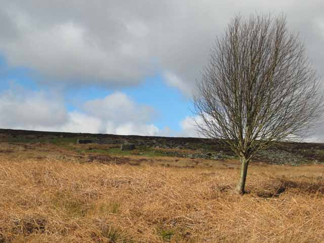 Solitary tree and sheepfold above Thornhope Sikes