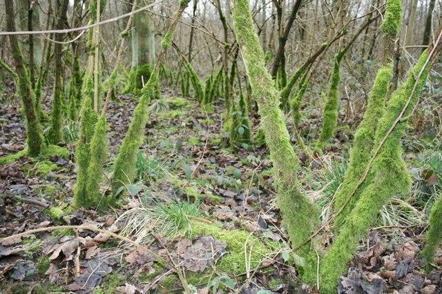 Moss,  Hag Wood