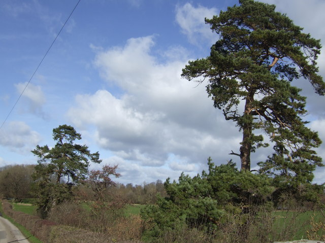 Scots Pines by the lane to Coed More