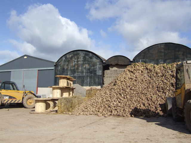 Sugar beet at Home Farm