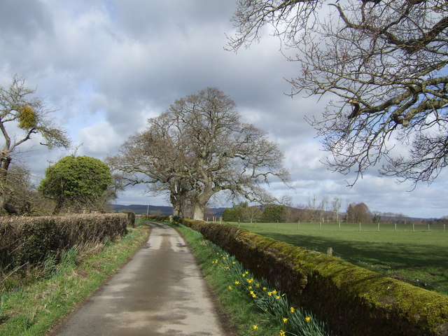Oaks and daffodils
