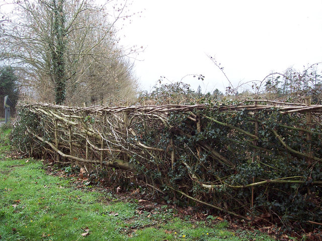 Laid hedge on Clarendon Road