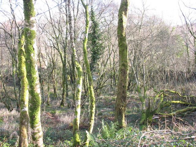 Coed Allt Wen Woods - ancient semi-natural woodland
