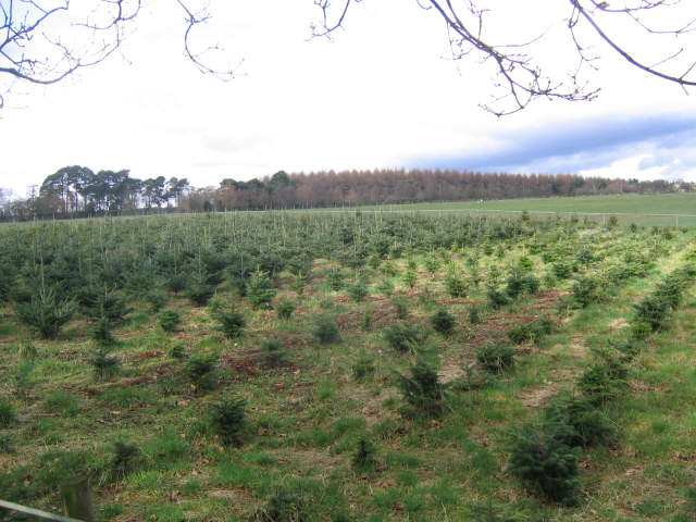 Christmas tree nursery, Cawthorn Moor