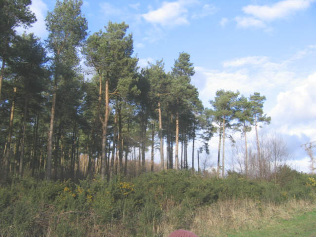Pine plantation, Low Moor Road, Rawcliffe