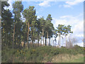 SE7991 : Pine plantation, Low Moor Road, Rawcliffe by Stephen Craven