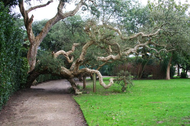 Cork Tree, Mount Edgcumbe Formal Gardens