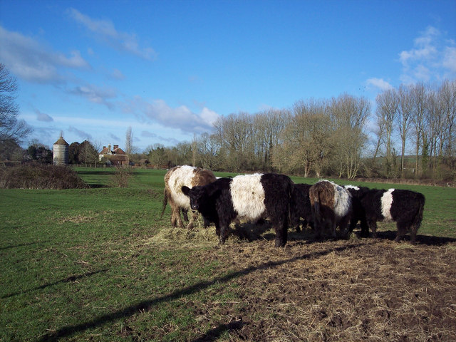 Belted Galloways at Faulston