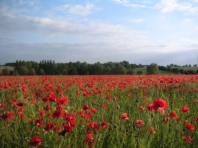 Poppies at Bran End