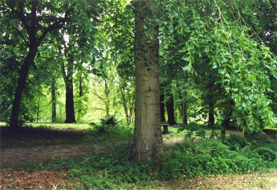 Lime trees at Thorp Perrow Arboretum