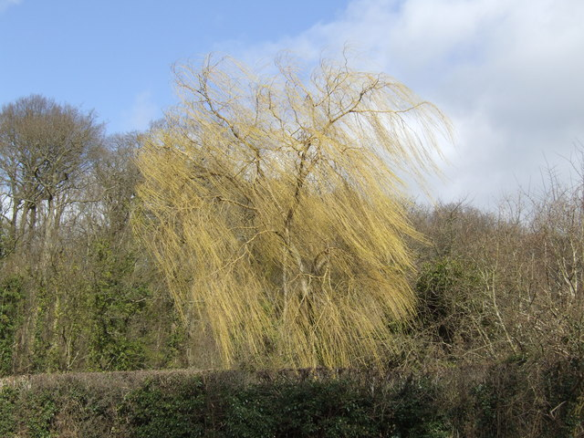 Willow in the breeze