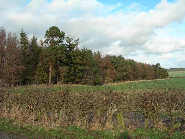 Strip of mature woodland