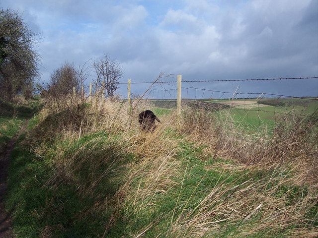 Guinness patrols the fence line - Gurston Down