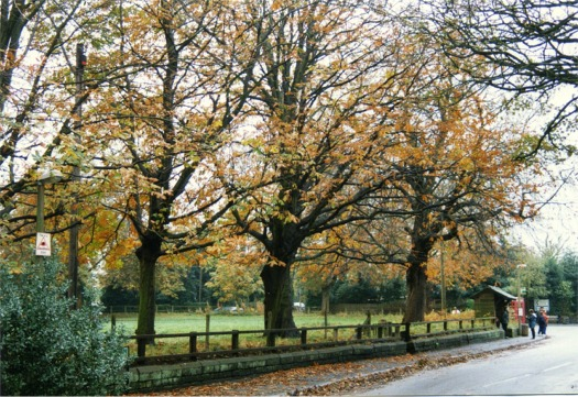 Horse chestnuts lining the road at Daresbury Village