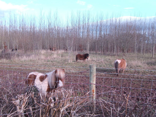 Ponies in the plantation