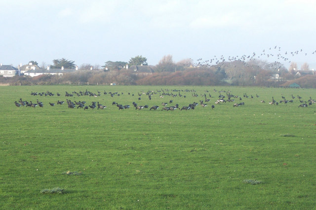Geese feeding at West Wittering