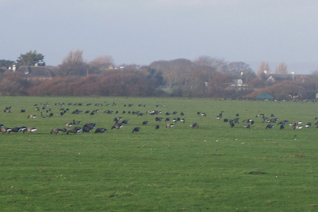 Feeding geese at West Wittering