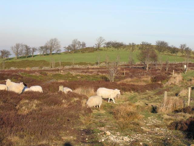 Sheep by Llyn Cyfynwy