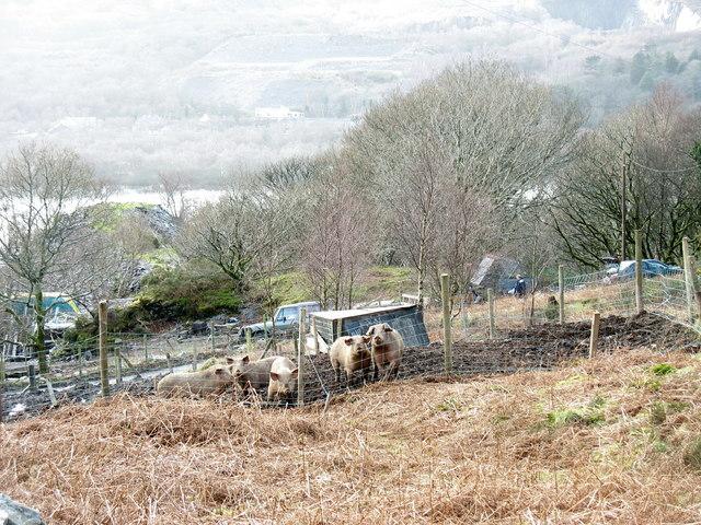 Moch/Pigs on the Chwarel y Faenol site