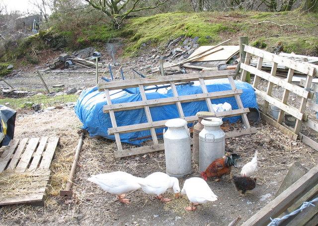 Fowls and Milk Churns on the Chwarel y Faenol site