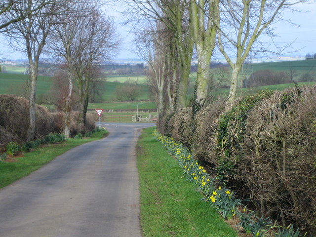 Daffodils in Pound Lane, Eastcote