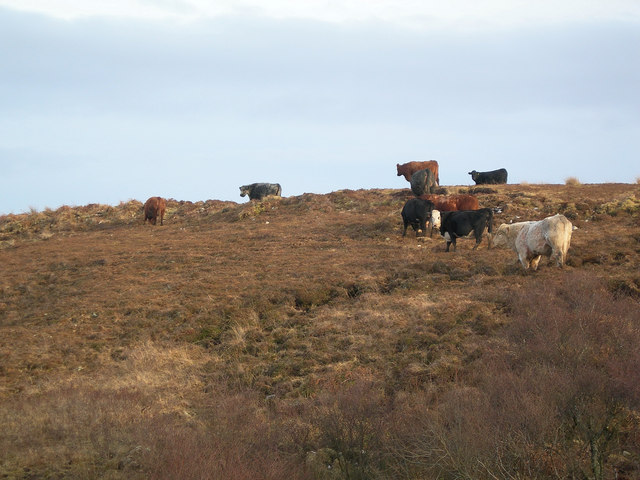 Beef Cattle near Coullabus