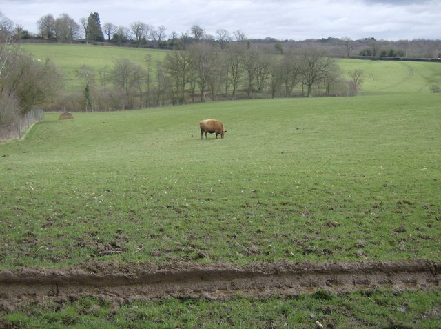 A cow in a deer park?