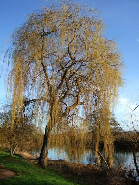 Willow in Belle Isle Park