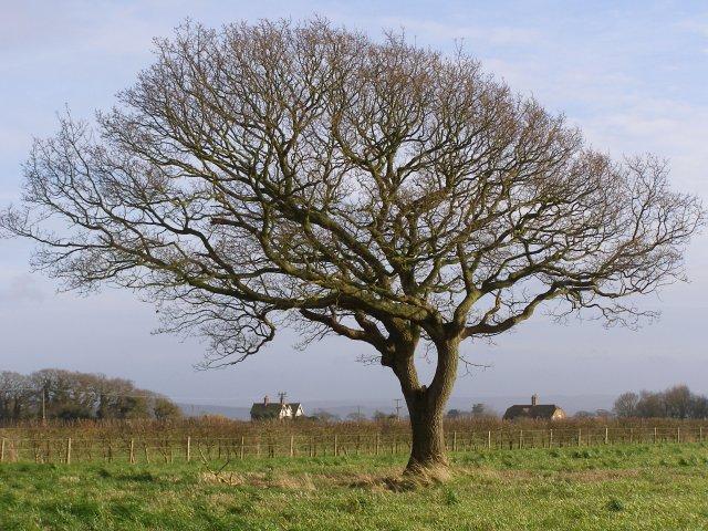 Oak tree in a field, Beaulieu Estate