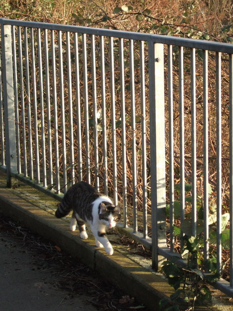 Cat on Weirfield Path