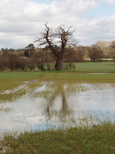 Tree reflected in wet wheatfield