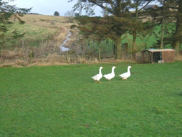 geese at Burnmill Farm