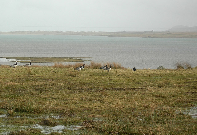 Barnacle Geese at Loch Gruinart