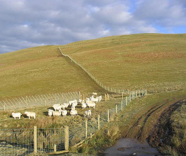 Sheep at Brown's Sike