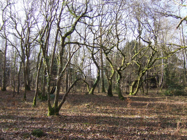 Gnarled trees in Havant Thicket