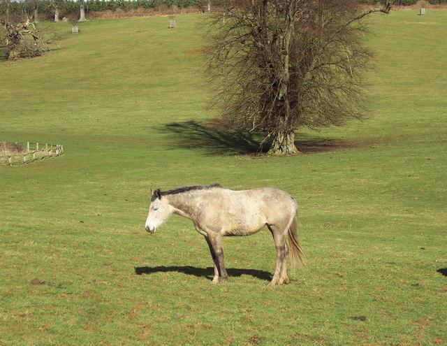 Dozing pony at Cowdray Park