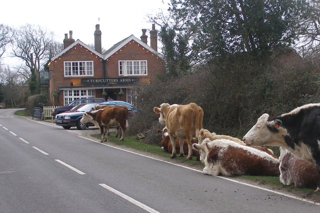Cattle outside the Turfcutters Arms, East Boldre