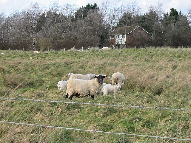 Sheep and house on New Downs Farm