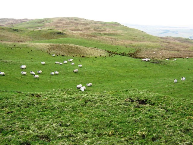 Sheep Grazing on Largs Hill