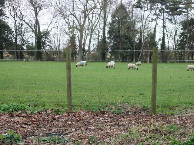 Sheep grazing at Little Sandown Farm