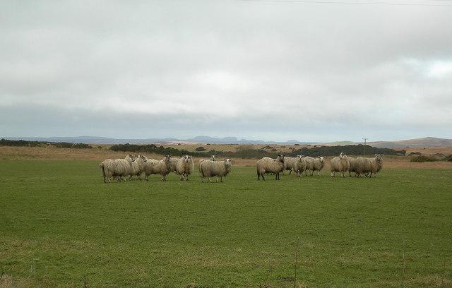 Sheep at Mullindry