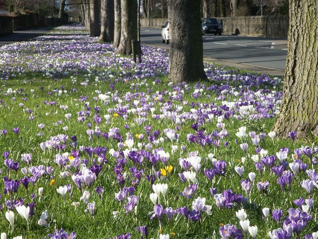 Roadside Crocus Display