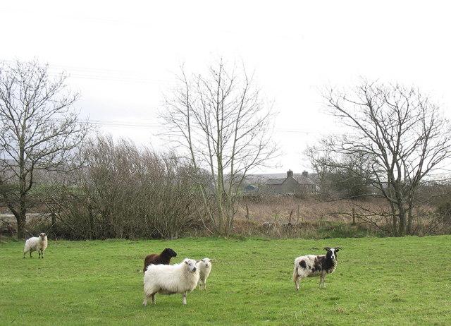 Sheep on the bank of the Dwyryd