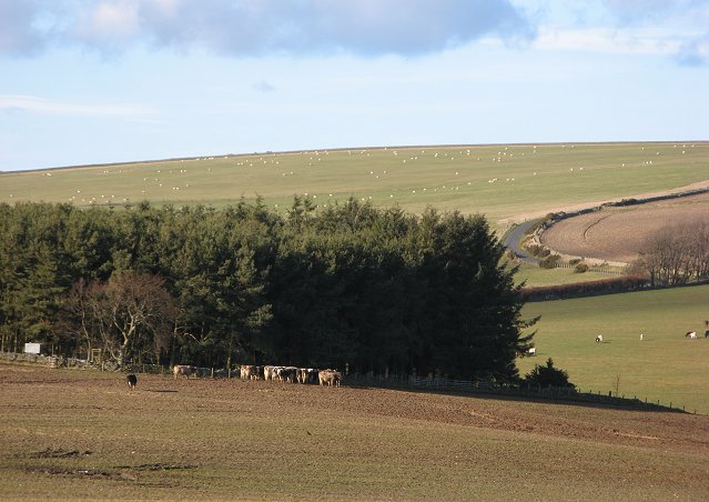 Cattle, Blackburn