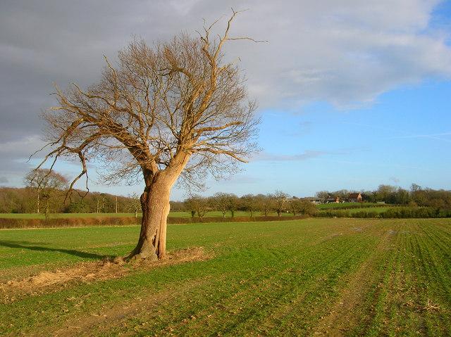 Lone Oak Tree near Burgh Hill