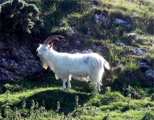 Feral Kashmiri goat grazing rough vegetation on the Great Orme, Llandudno