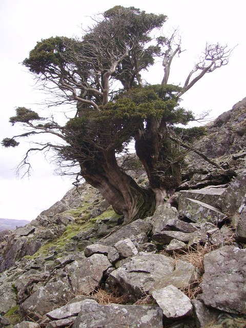 Old Yew, Thorneythwaite Fell